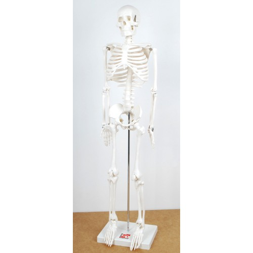 Montessori Half Size Skeleton
